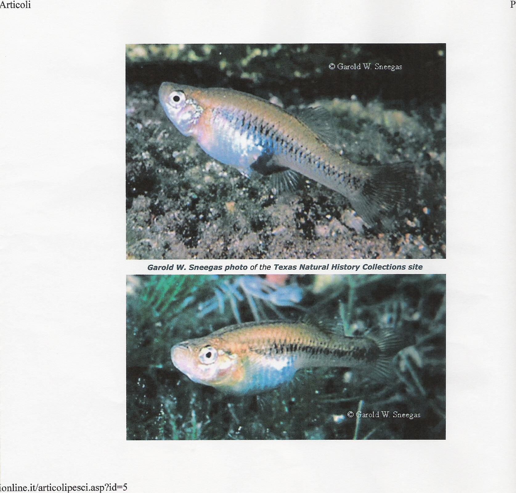 infozanzare - pagina gambusia affinis - Acquario Per Gambusie